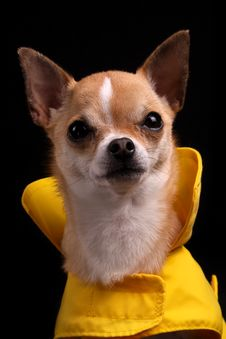 Free Chihuahua In A Raincoat Stock Images - 9430844
