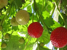 Free Strawberry Stock Images - 9431494