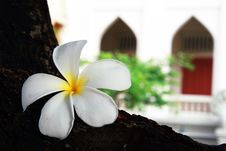 Free White Plumeria Flower Royalty Free Stock Photography - 9432047