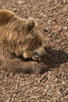 Free Brown Bear - Ursus Arctors Stock Images - 9432074