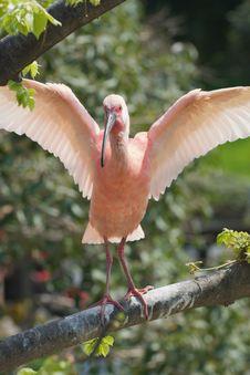 Free Scarlet Ibis - Eudocimus Ruber Stock Photography - 9432092