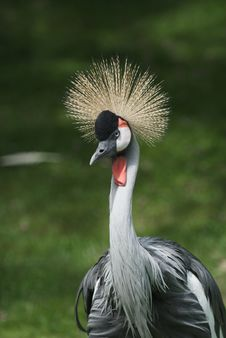 Free Crowned Crane - Balearica Pavonina Stock Photo - 9432160