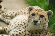 Free Cheetah Royalty Free Stock Photo - 9432345