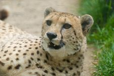 Free Cheetah Stock Photo - 9432370