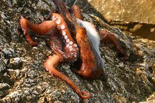 Free Octopus Stock Image - 9432831