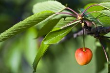 Free Cherry Tree Stock Photos - 9433173