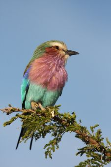 Free Lilac Breatsed Roller Royalty Free Stock Photo - 9434635