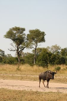 Blue Wildebeest In Sabi Sand Game Reserve Royalty Free Stock Images