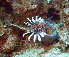 Lionfish Plumage Royalty Free Stock Image