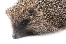 Free Hedgehog Stock Image - 9434981