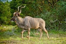 Free Kudu Bull Dawn Stock Images - 9435074