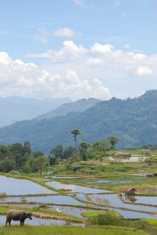 Free Buffalo, Rice Terrace, Palms, Blue Sky, Asia Royalty Free Stock Photography - 9435487