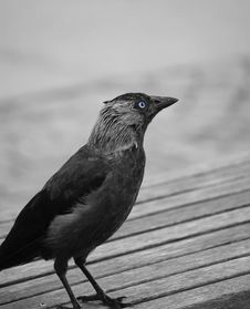 Free Crow Stock Photography - 9435732