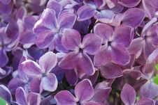 Free Lilac In Blossom Royalty Free Stock Image - 9437836