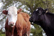 Free Cow And Bull In Field Stock Photo - 9437940