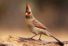 Free Cardinal Posing.. Royalty Free Stock Images - 9438479