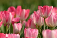 Free Pink Tulips Stock Photo - 9438550
