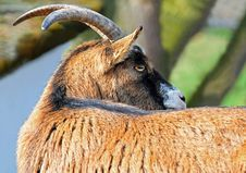 Free Horn, Goats, Fauna, Goat Royalty Free Stock Images - 94321289