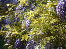 Free Glycine S Flowers Stock Image - 9442261