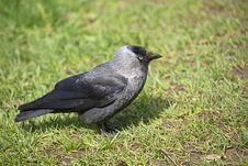 Free Raven Stock Image - 9444771