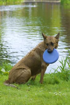 Free Dog With Frisbee Playng In The Water Stock Photo - 9445060