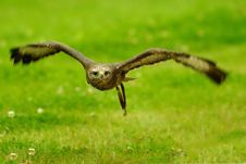 Free Buzzard Stock Images - 9445594