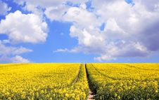 Yellow Rape Seed Field Stock Images