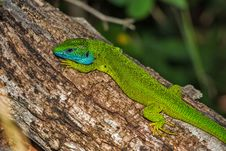 Free Reptile, Lizard, Scaled Reptile, Lacertidae Stock Images - 94494864