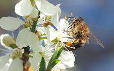 Free Honey Bee, Bee, Insect, Blossom Royalty Free Stock Photos - 94495418