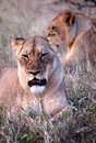 Free Lioness Royalty Free Stock Image - 9450026