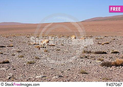 Alpacas grazing Stock Photo