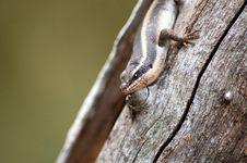 Free Lizard Royalty Free Stock Photo - 9450295