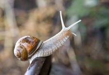 Free Snail Royalty Free Stock Photography - 9452047