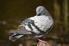 Free Pigeon Royalty Free Stock Image - 9452126