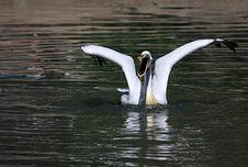 Free Pelican Royalty Free Stock Photos - 9453298