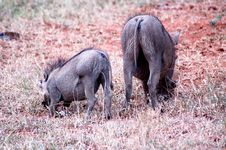 Foraging Warthogs Stock Photos