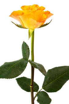 Free Orange Roses Stock Images - 9455534