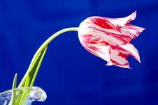 Free Tulip Stock Image - 9456161