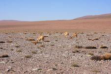 Alpacas Grazing Royalty Free Stock Photography