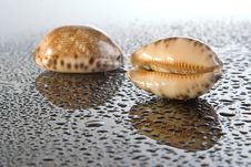 Free Sea Shell Royalty Free Stock Images - 9457839