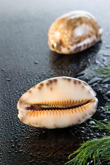 Free Sea Shell Stock Photo - 9457840