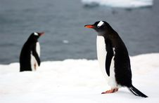 Free Gentoo Penguin Stock Photo - 9458080