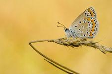 Free Polyommatus Icarus Zelleri Royalty Free Stock Photos - 9458568