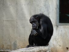 Free Thinking Monkey Ape Gorilla Stock Photo - 9459010