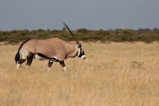 Gemsbok (Oryx) Royalty Free Stock Photo