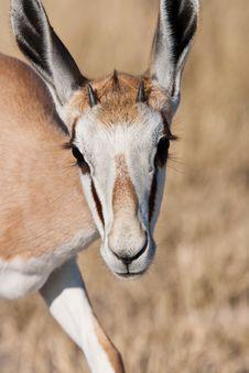 Free Young Springbok Stock Image - 9459651
