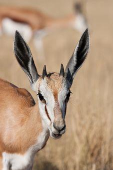 Free Young Springbok Stock Photos - 9459653