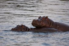 Free Hippo With Young Stock Photography - 9459732