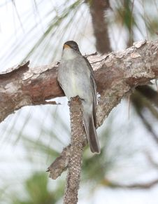 Free 573 - EASTERN WOOD-PEWEE &x28;6-6-2017&x29; Croatan Nat Forest, Carteret Co, Nc -04 Stock Photography - 94536392