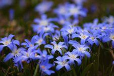 Free Glory Of Snow Flowers Stock Photo - 94536520